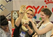 Ginger Arte Vita - Best Kitten BRI SHOW