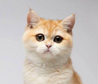 Katusha Plush Golden Kitty